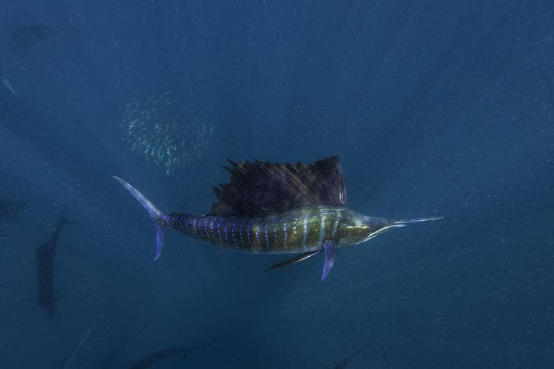 снорклинг с рыбой парус