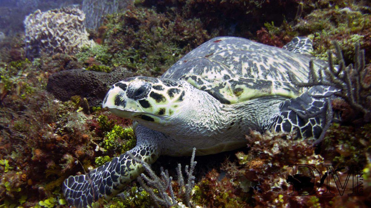 snorkling-turtle